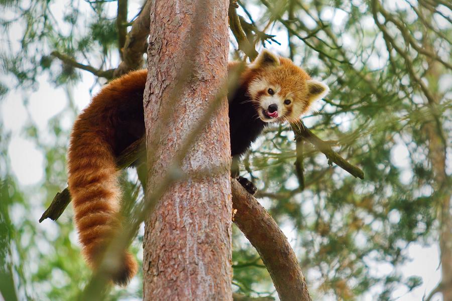 Adorable red panda by kalaspuff