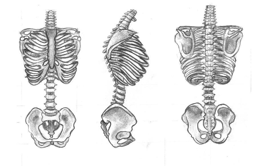 Bones Of The Torso By Covertmermaid On Deviantart