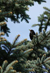 blackbird by myheartisamess