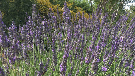 Busy Bees Foraging Lavender