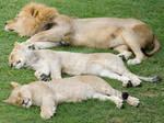 Three Lions Sleeping