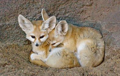 Snuggling Fennecs by Lyricalwolf