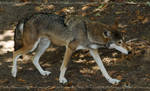 Red Wolf Canis Lupus Rufus