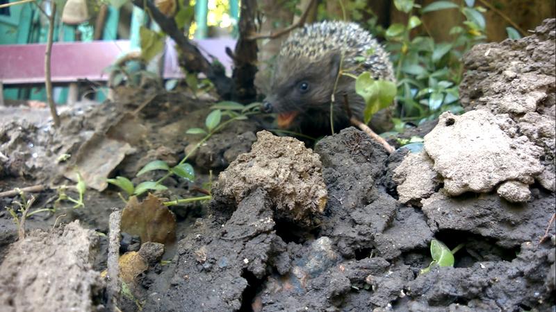 hedgehog by V-Shine