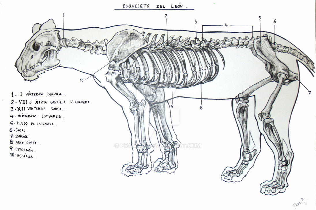 ANALISIS ANATOMICO FELINO II by Framan on DeviantArt