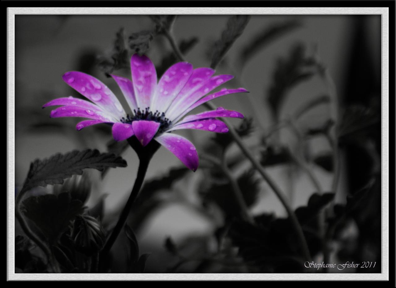 VIOLET - Page 2 Purple_daisy_by_flowersteph-d3esx9e