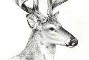 Deer Study by moth-eatn