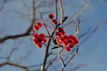 berries in winter by IsiEnLinea