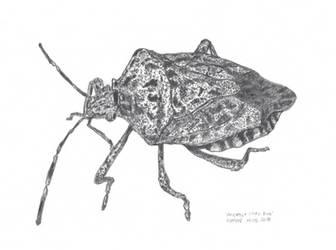 Stink bug by kinow