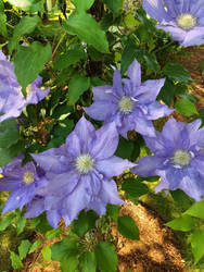 Large flower Clematis