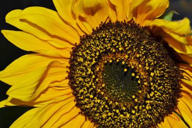 Sunflower by Ashla