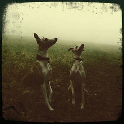 Whippets in the mists