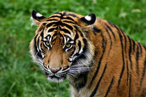 Tiger by looking4myleopard
