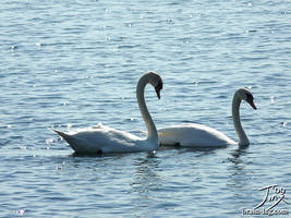 Swans by CitizenOfZozo