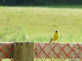 Yellow Finch by CitizenOfZozo