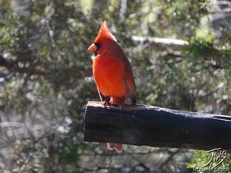 Cardinal by CitizenOfZozo
