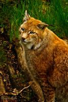 Eurasian lynx by studio-toffa