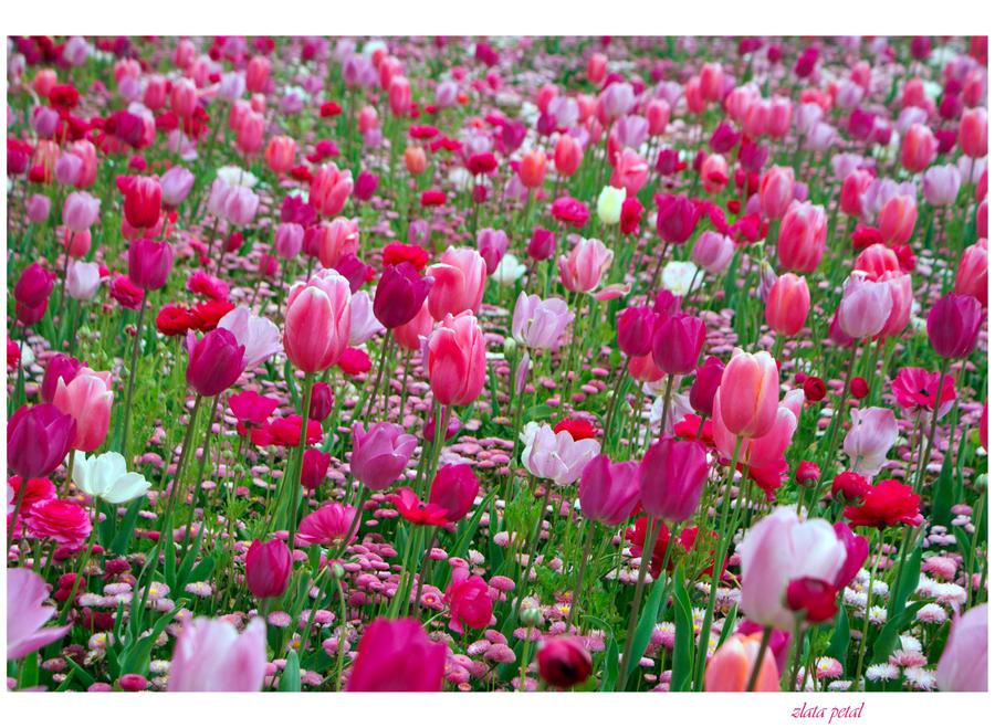 novi tulipani by Zlata-Petal