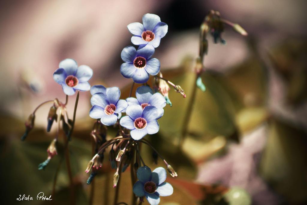 blue petals by Zlata-Petal