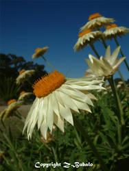 White Flowers 12 by Zlata-Petal