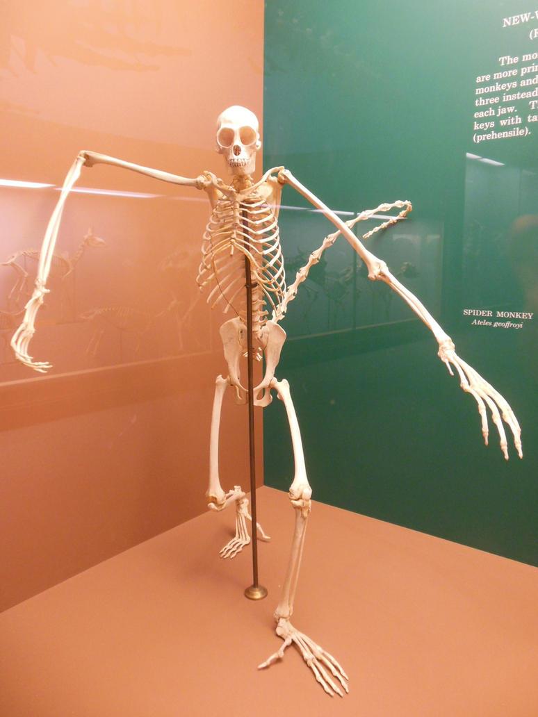 spider monkey skeleton by rlkitterman on deviantart, Skeleton