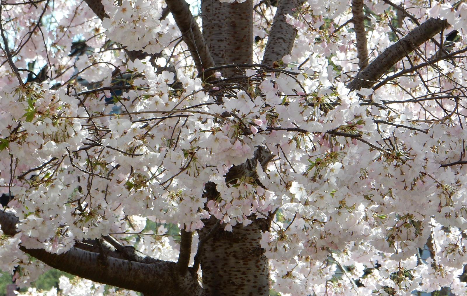 Cherry Blossoms In Washington Dc By Rlkitterman On Deviantart