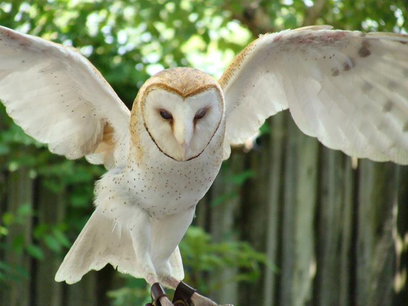 barn owl with wings spreadshadowkorin-photos on deviantart