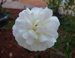 White Rose by DDEBB