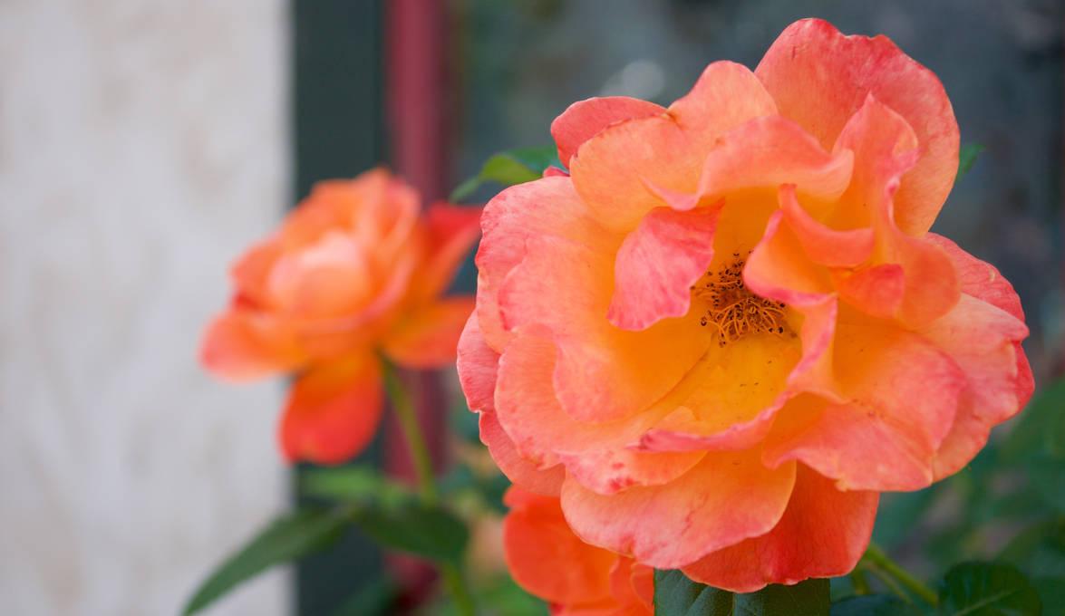 Blushing Orange Pair by MaxHedrm0