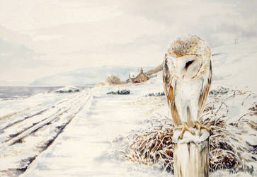 Barn Owl - Machrie, Arran by Atriedes