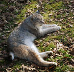 Lynx by Imagimax