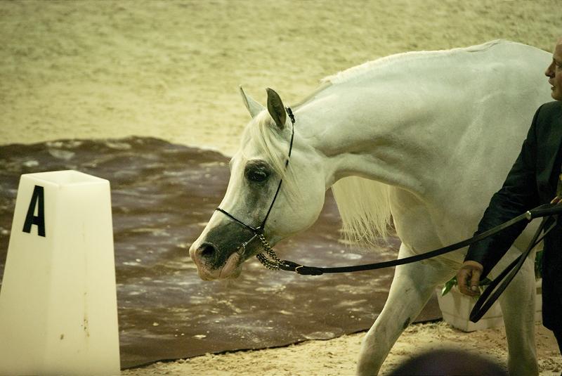 Ficha de Riley. White_arabian_horsee_by_Imagimax