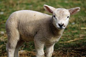 Spring Lamb 2 by mosherte
