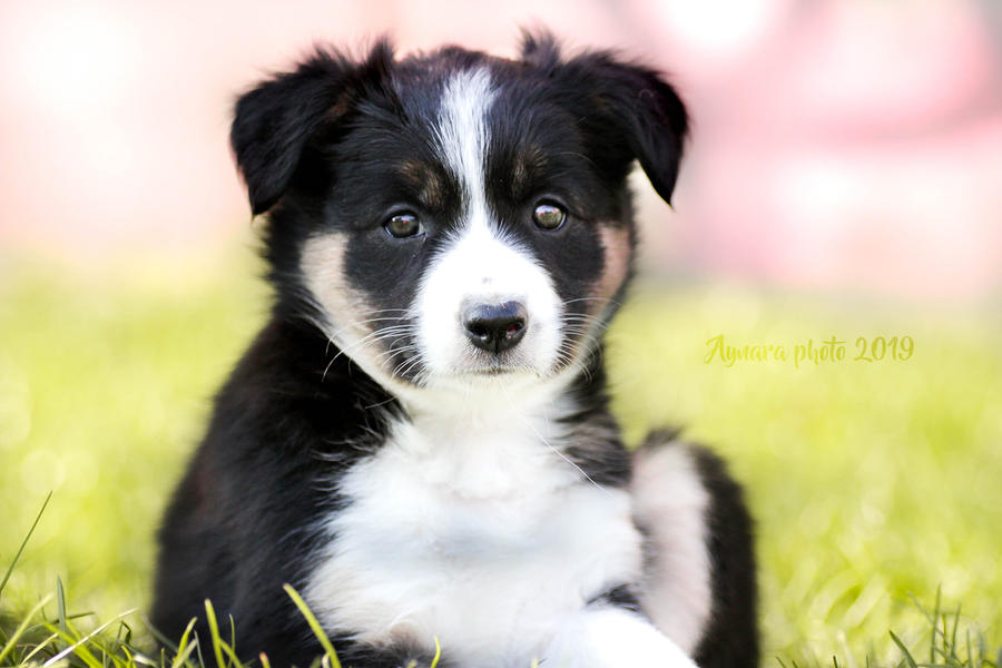 She is little devil | Puppy Border collie by Aynarra