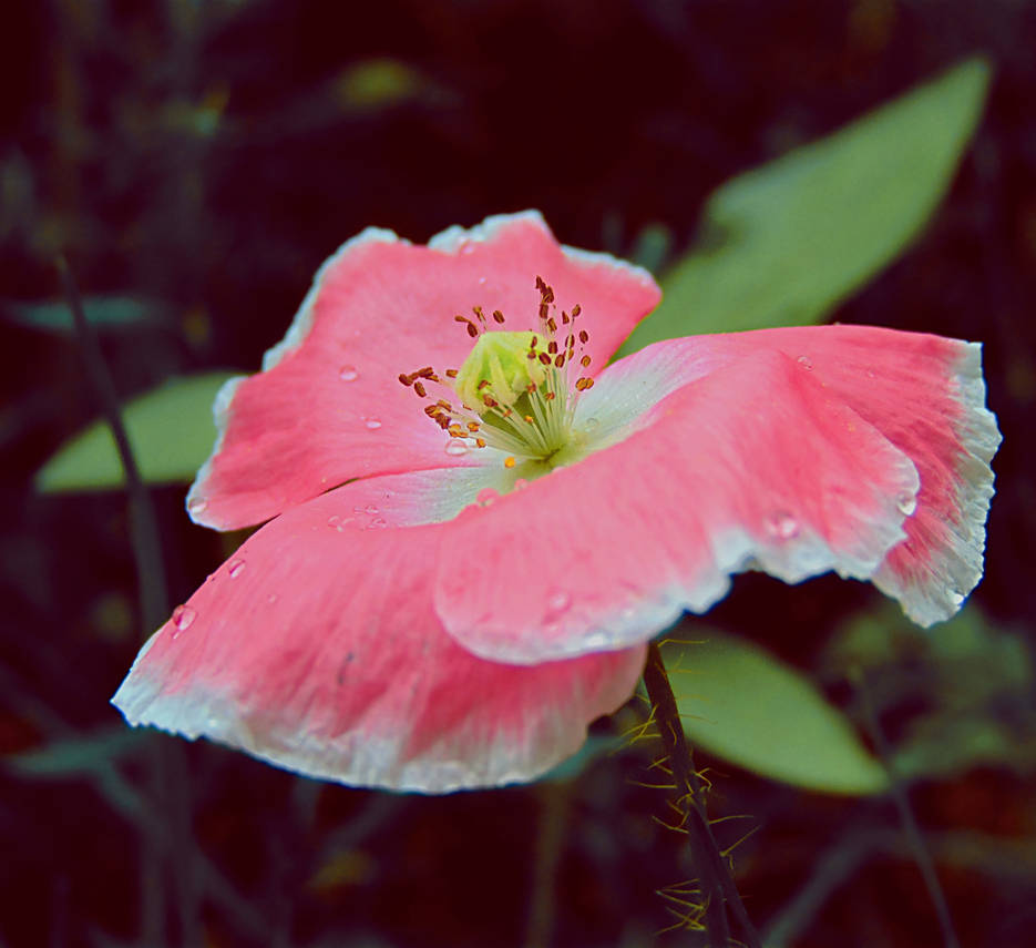 Poppy Flower by spm62