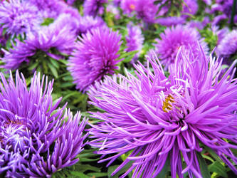 Asters by spm62