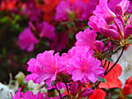 Rhododendrons Bloom by spm62