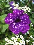 purple Petunia flower by spm62