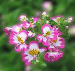 floral lace by spm62