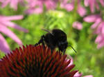 bumblebee on a flower by spm62