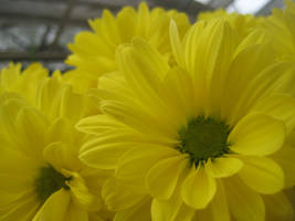 yellow chrysanthemum petals
