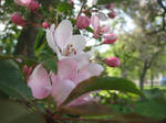 pink apple flowers