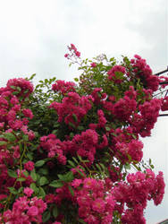 the exuberant flowering of the Rose