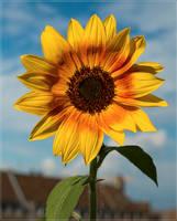 Miss Sunshine... by FeliFee
