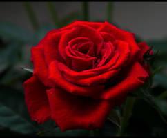 Red Is The Rose... by FeliFee