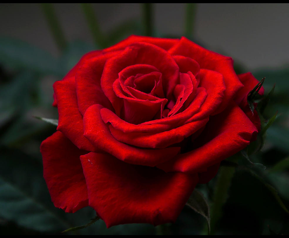 Te regalo una rosa - Página 2 Red_is_the_rose____by_felifee-d7gghoy