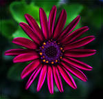 Purple Star...