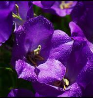 Purple Bells... by FeliFee