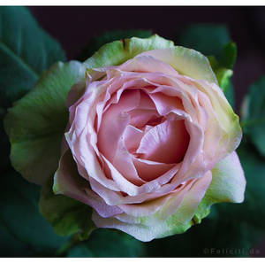 The Birthday Rose... by FeliFee