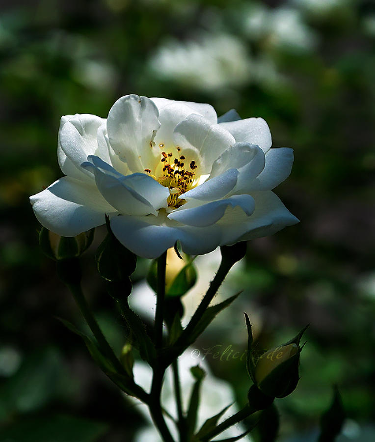 The White Rose...